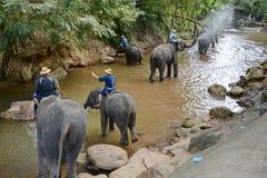 Οι μη αναγνωρισμένοι άνθρωποι λούζουν τους ελέφαντες στον ποταμό της Mae Sa Noi στη Mae S Στοκ Εικόνες