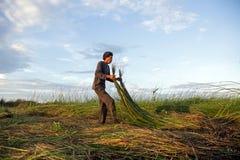 Οι μη αναγνωρισμένοι αγρότες συγκομίζουν το malaccensis cyperus Στοκ Εικόνες