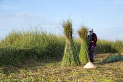 Οι μη αναγνωρισμένοι αγρότες συγκομίζουν το malaccensis cyperus Στοκ Φωτογραφίες