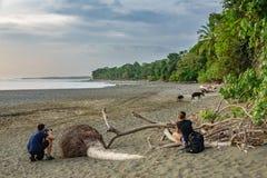 Οι μη αναγνωρισμένοι τουρίστες θαυμάζουν tapir την είσοδο του δάσους σε Corcovado στοκ εικόνες