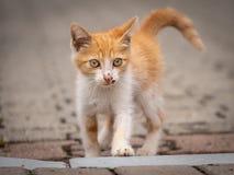 Οι μικρές περιπλανώμενες γάτες ενδιαφέρονται προχωρούν στοκ φωτογραφίες
