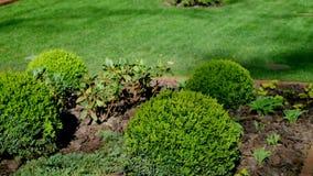 Οι μικροί κωνοφόροι θάμνοι στον κήπο απόθεμα βίντεο
