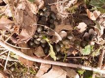 οι μικροί σβόλοι του ζωικού poo αποκρουστικοί βρωμίζουν το έδαφος ρύπου στοκ εικόνες