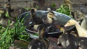 Οι μικροί χρωματισμένοι νεοσσοί λούζουν σε μια μικρή δεξαμενή μια ηλιόλουστη θερινή ημέρα απόθεμα βίντεο