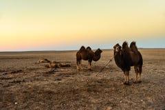 Οι μογγολικές καμήλες στέκονται στην έρημο Στοκ εικόνες με δικαίωμα ελεύθερης χρήσης