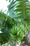 οι μπανάνες αυξάνονται σε ένα δέντρο Στοκ Φωτογραφίες