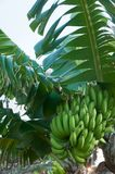οι μπανάνες αυξάνονται σε ένα δέντρο Στοκ φωτογραφία με δικαίωμα ελεύθερης χρήσης