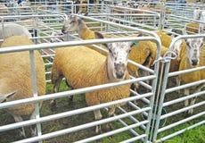 Οι μπλε κριοί προβάτων προβατίνων Leaster προσώπου πέθαναν κίτρινος στην αγορά παρουσιάζουν στοκ φωτογραφία με δικαίωμα ελεύθερης χρήσης