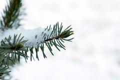 Οι μπλε ερυθρελάτες στο χιόνι κλείνουν επάνω ενός κλάδου Στοκ Φωτογραφίες