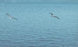 Οι μύγες πουλιών βλέπουν Η πανέμορφη πτήση του πουλιού με Seagull αιωρείται Στοκ Εικόνα