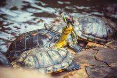 Οι νάνες χελώνες κάθονται στις πέτρες στο ναό Στοκ Εικόνα