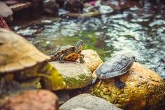 Οι νάνες χελώνες κάθονται στις πέτρες στο ναό Στοκ φωτογραφία με δικαίωμα ελεύθερης χρήσης