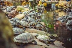 Οι νάνες χελώνες κάθονται στις πέτρες στο ναό Στοκ εικόνα με δικαίωμα ελεύθερης χρήσης