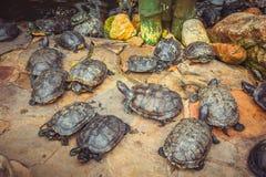 Οι νάνες χελώνες κάθονται στις πέτρες στο ναό Στοκ Φωτογραφία
