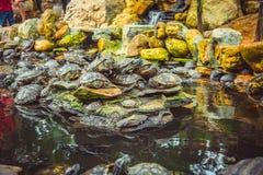 Οι νάνες χελώνες κάθονται στις πέτρες στο ναό Στοκ φωτογραφίες με δικαίωμα ελεύθερης χρήσης