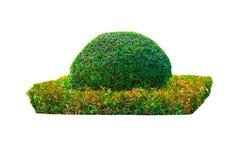 Οι νάνοι φράκτες κόβουν το πράσινο δέντρο που απομονώνεται στο άσπρο υπόβαθρο Στοκ φωτογραφία με δικαίωμα ελεύθερης χρήσης