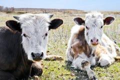 Οι νέες καθαρής φυλής άσπρος-καφετιές αγελάδες βρίσκονται σε ένα λιβάδι την πρώιμη άνοιξη στοκ εικόνες
