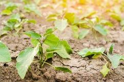 Οι νέες μελιτζάνες αυξάνονται στον τομέα φυτικές σειρές Γεωργία, λαχανικά, οργανικά αγροτικά προϊόντα, αγροβιομηχανία καλλιεργήσι στοκ εικόνα με δικαίωμα ελεύθερης χρήσης