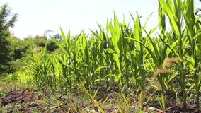 Οι νέοι βλαστοί του καλαμποκιού αυξάνονται σε έναν θερινό τομέα απόθεμα βίντεο