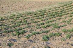 Οι νέοι βλαστοί κρεβατιών των πατατών Ανάπτυξη των πατατών στον κήπο Κρεβάτι πατατών στον κήπο Στοκ φωτογραφίες με δικαίωμα ελεύθερης χρήσης