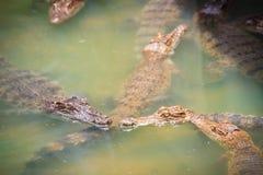 Οι νέοι κροκόδειλοι επιπλέουν στο νερό στο αγρόκτημα κροκοδείλων ή Στοκ εικόνα με δικαίωμα ελεύθερης χρήσης