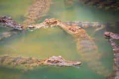 Οι νέοι κροκόδειλοι επιπλέουν στο νερό στο αγρόκτημα κροκοδείλων ή Στοκ φωτογραφία με δικαίωμα ελεύθερης χρήσης