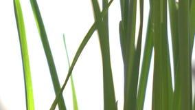 Οι νέοι πράσινοι βλαστοί περιστρέφονται μπροστά από τη κάμερα φιλμ μικρού μήκους