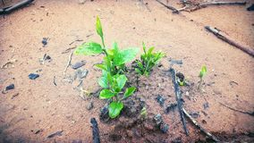 Οι νέοι σπόροι αυξάνονται από το χώμα στοκ εικόνες