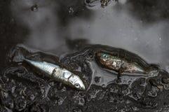 Οι νεκροί τρεις-οι γαστερόστεοι Στοκ εικόνα με δικαίωμα ελεύθερης χρήσης