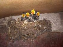 Οι νεοσσοί στη φωλιά άνοιξαν τα κίτρινα ράμφη στοκ φωτογραφίες με δικαίωμα ελεύθερης χρήσης