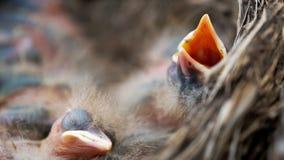 Οι νεοσσοί της νεογέννητης τσίχλας κοιμούνται σε μια φωλιά φιλμ μικρού μήκους