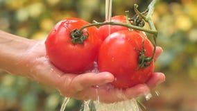 Οι ντομάτες κλείνουν επάνω σε μια ηλιόλουστη ημέρα απόθεμα βίντεο