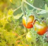 Οι ντομάτες που ωριμάζουν στους κλάδους Στοκ Εικόνες