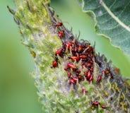 Οι νύμφες ζωύφιου Milkweed επιτίθενται στο α ο λοβός σπόρου Στοκ Εικόνες