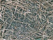 Οι ξηρές βελόνες πεύκων βρίσκονται στο δάσος Στοκ Εικόνες
