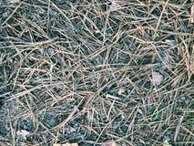 Οι ξηρές βελόνες πεύκων βρίσκονται στο δάσος Στοκ Εικόνα