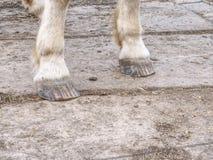 Οι ξυπόλυτες οπλές του άσπρου αλόγου, λεπτομέρεια των ποδιών στοκ φωτογραφίες με δικαίωμα ελεύθερης χρήσης
