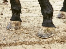 Οι ξυπόλυτες οπλές του σκοτεινού καφετιού αλόγου, λεπτομέρεια των ποδιών στοκ εικόνα με δικαίωμα ελεύθερης χρήσης