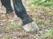 Οι ξυπόλυτες οπλές του σκοτεινού καφετιού αλόγου, λεπτομέρεια των ποδιών στοκ εικόνες