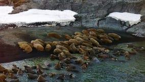 Οι οδόβαινοι στις ακτές και στο νερό του αρκτικού ωκεάνιου aero βλέπουν στη νέα γη απόθεμα βίντεο