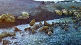 Οι οδόβαινοι στις ακτές του αρκτικού ωκεάνιου aero βλέπουν στο νέο νησί γήινου Vaigach απόθεμα βίντεο