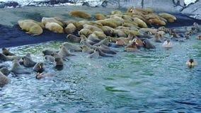 Οι οδόβαινοι στο νερό του αρκτικού ωκεάνιου aero copter βλέπουν στο νέο νησί γήινου Vaigach φιλμ μικρού μήκους