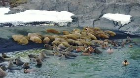 Οι οδόβαινοι στο νερό του αρκτικού ωκεάνιου aero copter βλέπουν στο νέο νησί γήινου Vaigach απόθεμα βίντεο
