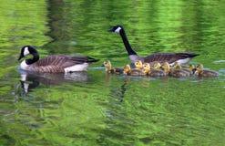 οι οικογενειακές χήνες κολυμπούν Στοκ φωτογραφία με δικαίωμα ελεύθερης χρήσης