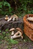 Οι ομάδες porcini ξεφυτρώνουν Boletus edulis, CEP, κουλούρι πενών, por Στοκ φωτογραφία με δικαίωμα ελεύθερης χρήσης