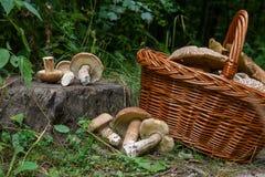 Οι ομάδες porcini ξεφυτρώνουν Boletus edulis, CEP, κουλούρι πενών, por Στοκ εικόνα με δικαίωμα ελεύθερης χρήσης