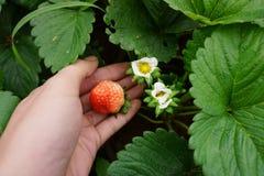 Οι οργανικές φράουλες αυξάνονται στοκ φωτογραφία