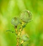 Οι οφθαλμοί των plumeless κάρδων (Carduus) Στοκ εικόνα με δικαίωμα ελεύθερης χρήσης