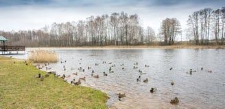 Οι πάπιες και οι πάπιες κολυμπούν στο σαφές νερό την πρώιμη άνοιξη στοκ εικόνα με δικαίωμα ελεύθερης χρήσης