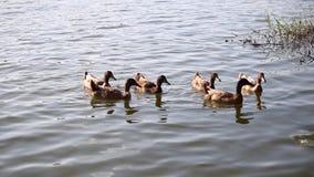 Οι πάπιες κολυμπούν στη λίμνη στο πάρκο απόθεμα βίντεο